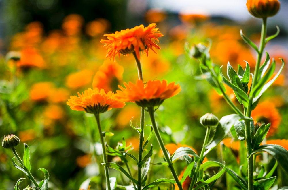 Ringelblumen Blüten