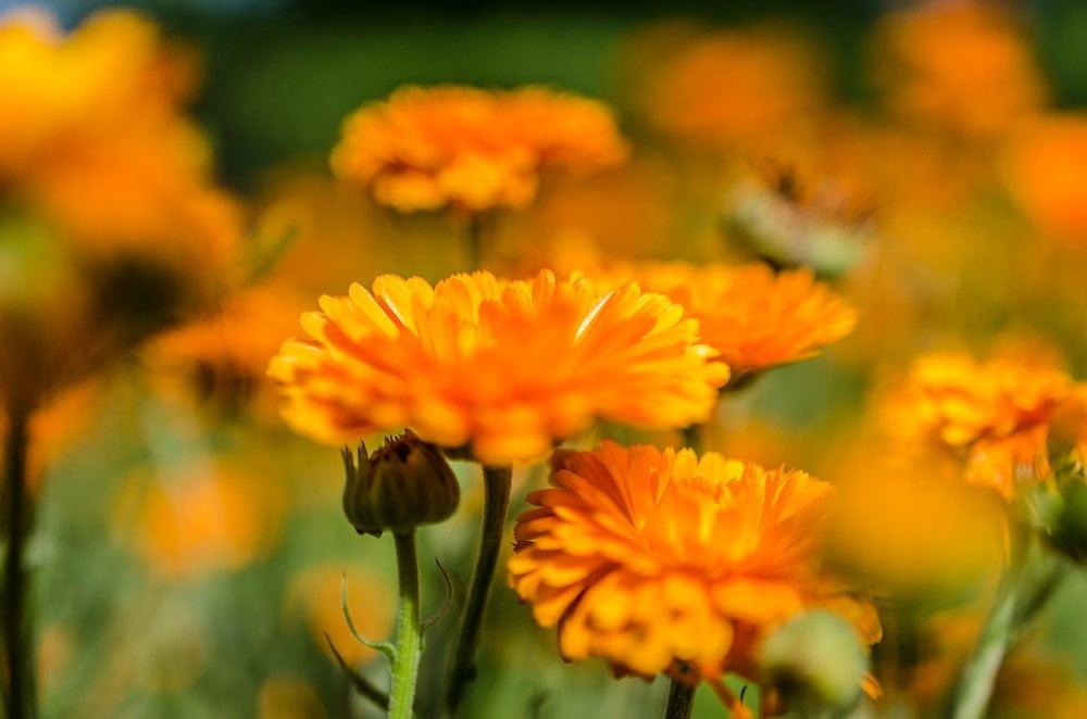 Ringelblumen Blüte Detail