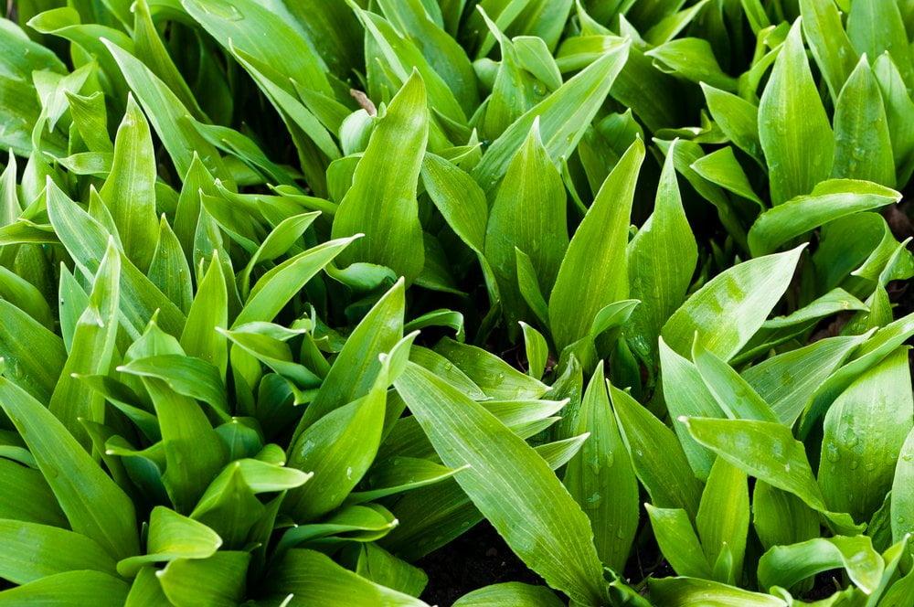 Bärlauch Blätter Feld