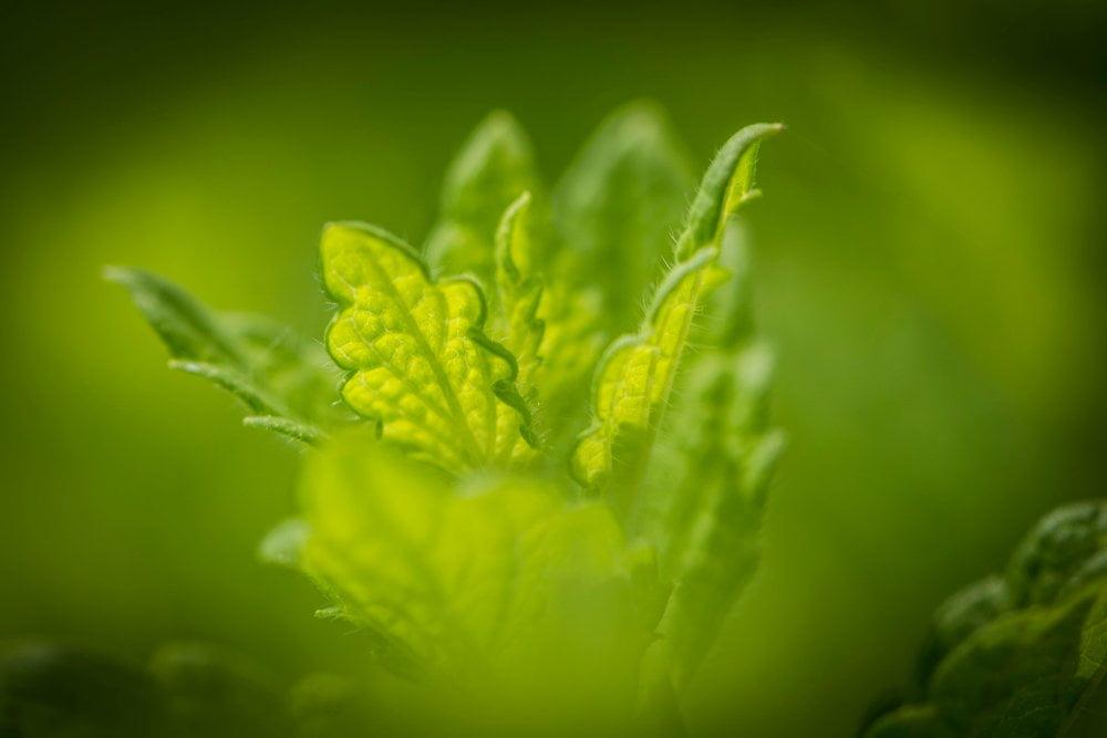 Melisse Blätter Bokeh