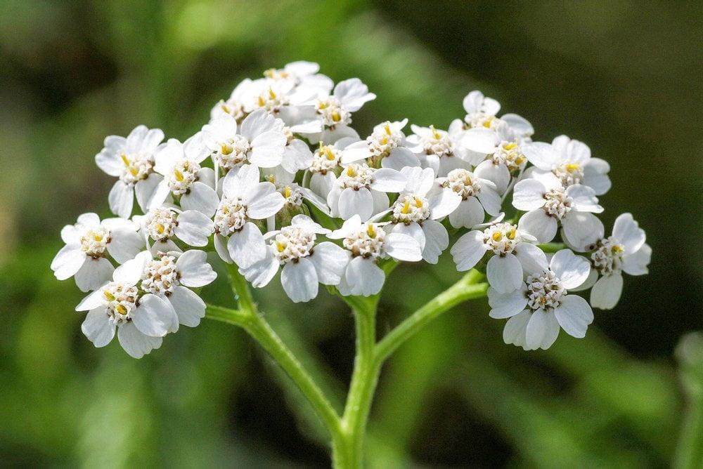 Schafgarbe Blüte Detail