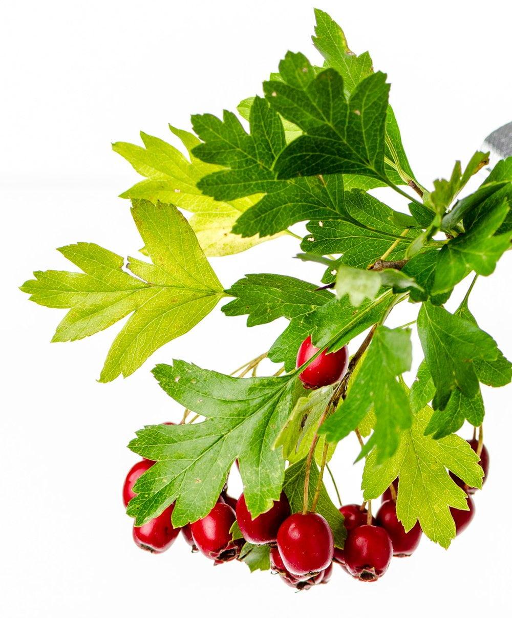Weißdorn Früchte, Blätter