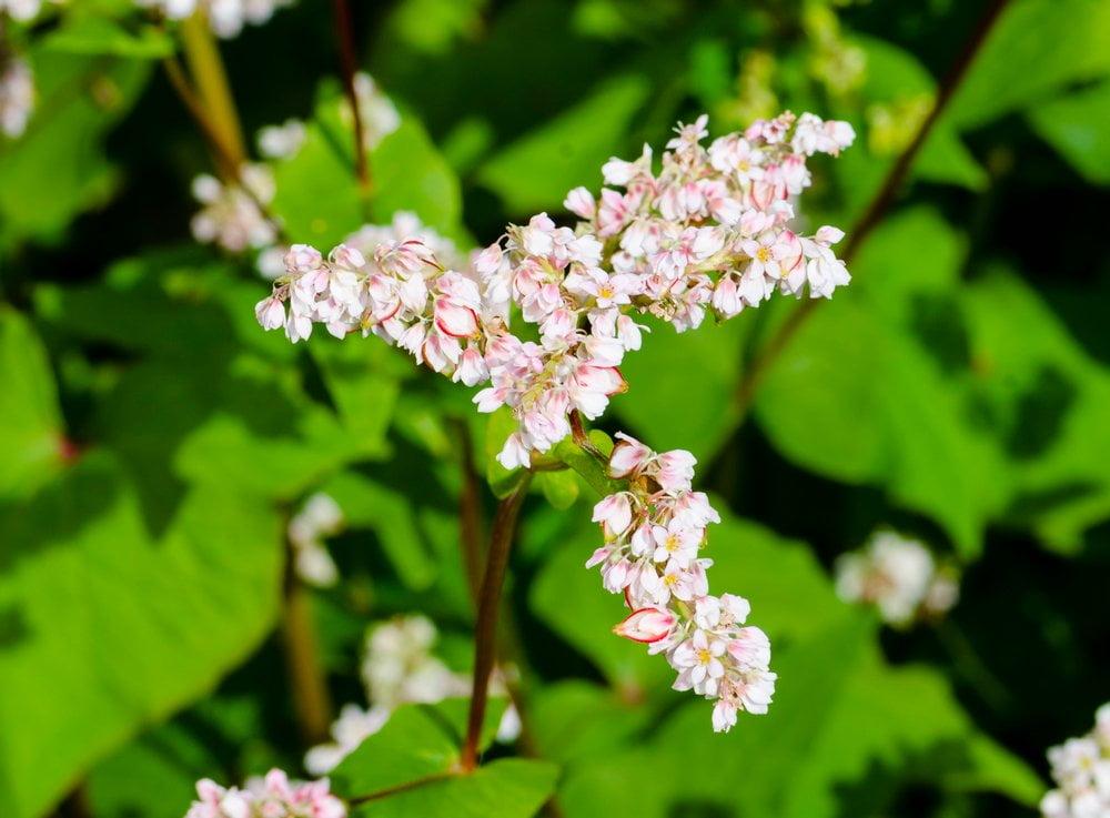 Buchweizen Blüte Detail