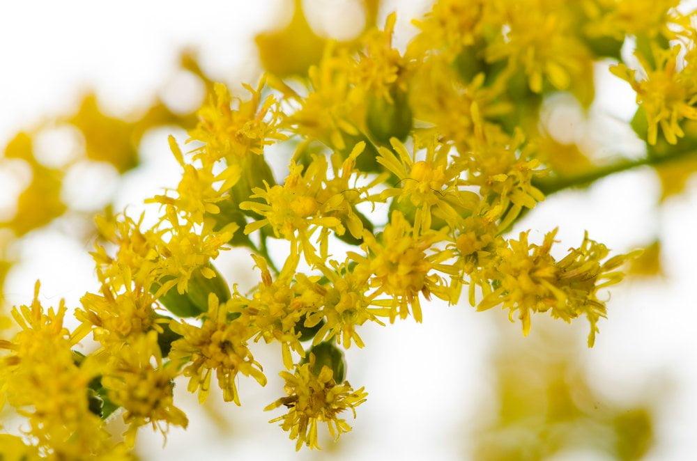 Goldrute Blüte