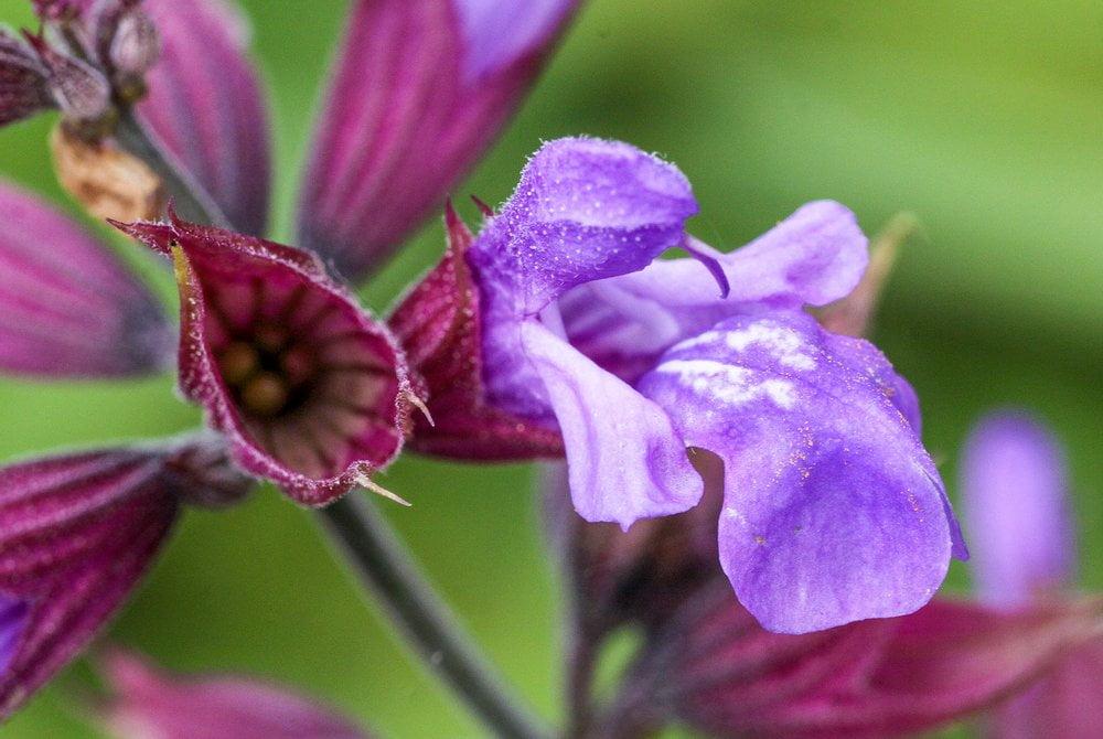 Salbei Blüte Detail