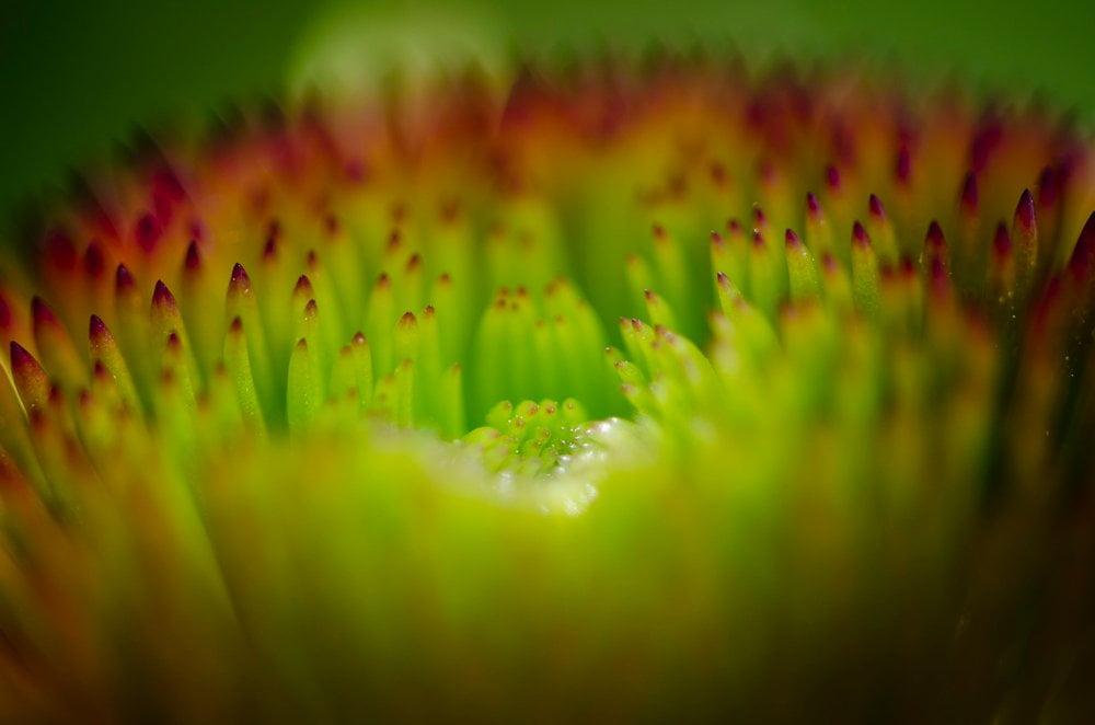 Sonnenhut Blüte Detail