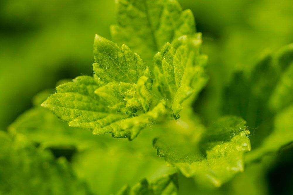 Melisse Blätter