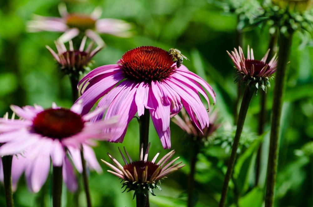 Sonnenhut Blüten