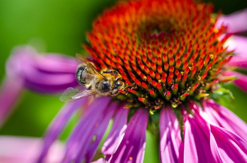 Sonnenhut Blüte Biene