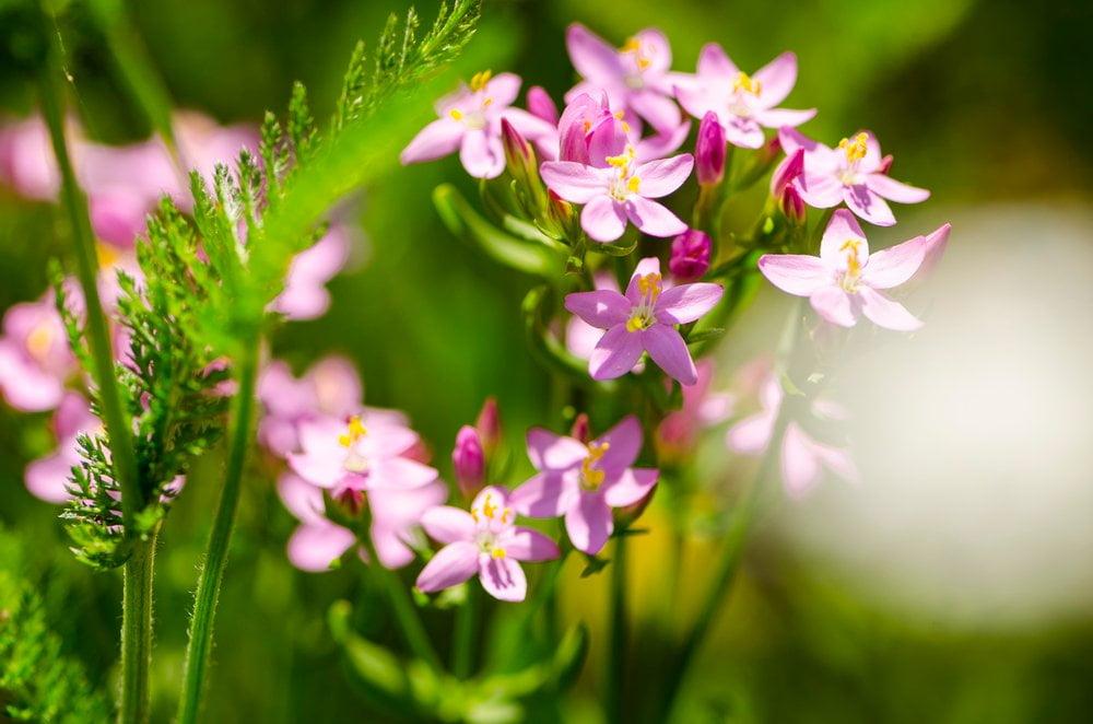 Tausendgüldenkraut Blüten Detail