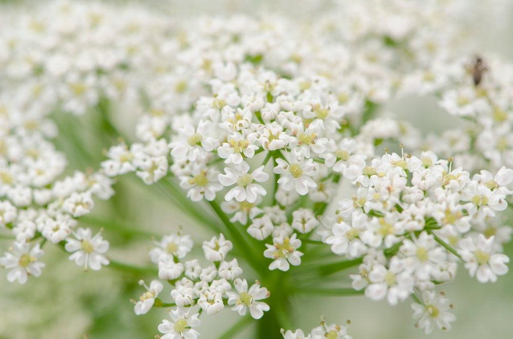 Kümmel Blüte Detail