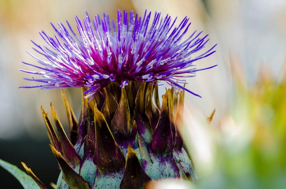 Bärlauch Blüte Detail