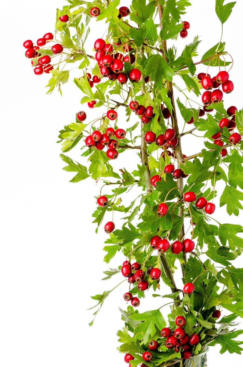Weißdorn Zweig