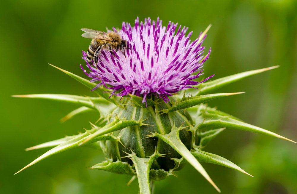 Mariendistel Blüte Biene