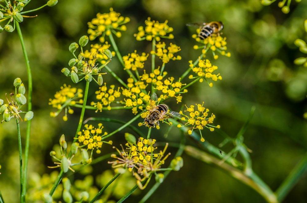 Fenchel Blüten