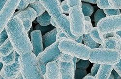 Darmflorabakterien