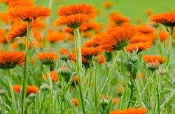 Inkulturnahme von Wildpflanzen