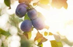 Apfel-Pflaumen-Extrakt
