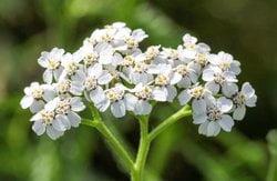 Schafgarbe (Achillea millefolium L.)
